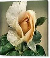 Rosebud After The Rain Canvas Print