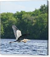 Roseland Lake Great Blue Heron Fly By  Canvas Print