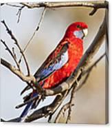 Crimson Rosella 1 - Australia Canvas Print