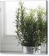 Rosemary In Metal Pot Canvas Print
