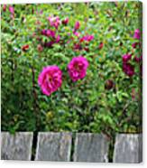 Roses On A Fence Canvas Print