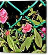 Roses On Fence Canvas Print