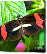 Rosina Butterfly Canvas Print