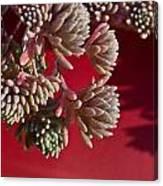 Rosy Sedum 5 Canvas Print