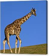Rothschild Giraffe  Canvas Print