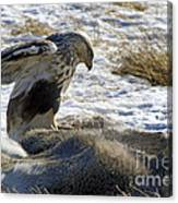 Rough-legged Hawk On A Mule Deer Kill Canvas Print