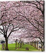 Rows Of Cherry Blossom Trees In Bloom Canvas Print