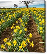 Rows Of Daffodils Canvas Print