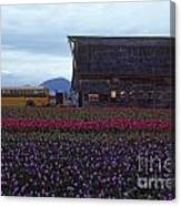 Rows Of Multi Colored Tulips In Field With Old Barn And Yellow B Canvas Print