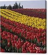 Rows Of Multicolored Tulips In Field Mount Vernon Washington Sta Canvas Print