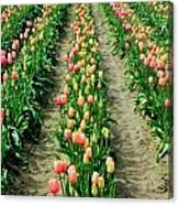 Rows Of Pink Canvas Print