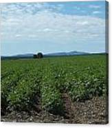 Rows Of Potatoes Canvas Print
