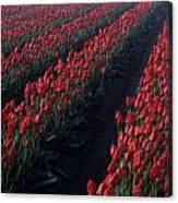 Rows Of Red Tulips Canvas Print