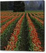 Rows Of Tulips Canvas Print