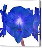Royal Blue Amaryllis On White Canvas Print