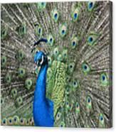 Royal Peacock Display Canvas Print