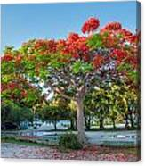 Royal Poinciana Canvas Print