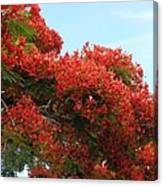Royal Poinciana Branch Canvas Print