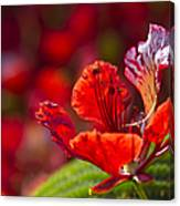 Royal Poinciana - Flamboyant - Delonix Regia Canvas Print