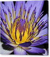 Royal Purple Water Lily #5 Canvas Print