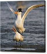 Royal Tern Canvas Print