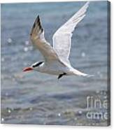Royal Tern Flight Canvas Print