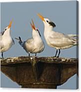 Royal Tern Trio Displaying Dominican Canvas Print