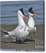 Royal Terns Dancing Canvas Print