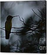 Ruby-throat And Pine Canvas Print