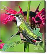 Ruby Throated Hummingbird Female Canvas Print