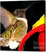 Ruby-throated Hummingbird Landing On Feeder Canvas Print