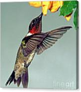 Ruby-throated Hummingbird Male At Flower Canvas Print