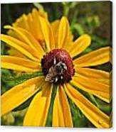 Rudbeckia Bee Canvas Print