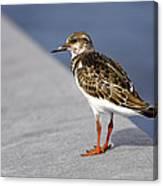Ruddy Turnstone Bird Arenaria Interpres Florida Usa Canvas Print