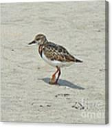 Ruddy Turnstone Wading Bird - Arenaria Interpres Canvas Print