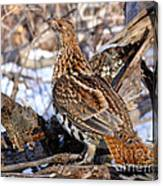 Ruffed Grouse On Alert Canvas Print