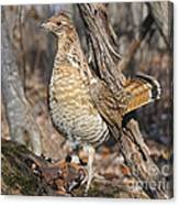 Ruffed Grouse On Mossy Log Canvas Print