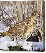 Ruffed Grouse On Snowy Log Canvas Print