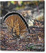 Ruffed Grouse Rear Strut Canvas Print