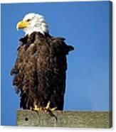 Ruffled Eagle Canvas Print