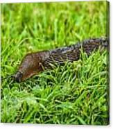 Rufous Garden Slug Canvas Print