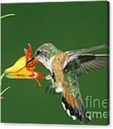 Rufous Hummingbird At Tiger Lily Canvas Print