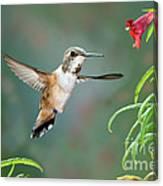 Rufous Hummingbird Female At Monkey Canvas Print