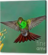 Rufous-tailed Hummer Canvas Print