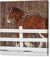 Running Clydesdale Canvas Print