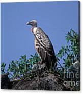 Ruppells Griffon Vulture Canvas Print