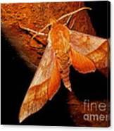 Rusty Sphinx Moth Canvas Print