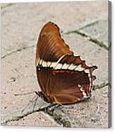 Rusty Tipped Page Butterfly Canvas Print
