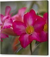 Sabi Star - Desert Rose Garden Of Dreams Hawaii Canvas Print