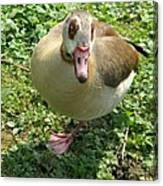 Sad Goose Canvas Print